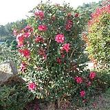 실내 정원 조경 빨간 꽃 애기 동백 나무 묘목 포트|