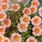 옥살리스(사랑초) obtusa Blush Eyelash(3구)|