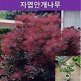 자엽안개나무(로얄퍼플) 화분묘|