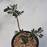 [메카다육]91번 세나 메리디오날리스(가지 삽목) 희귀아프리카식물