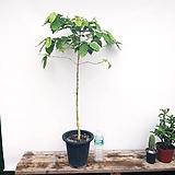 목대짱 커피나무|