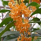 세종식물원 정원 조경 꽃 향이좋은 만리향 금목서 나무 묘목 화분 (70cm전후)|