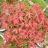 세종식물원 정원 조경 빨간 출성성 단풍 나무 묘목 화분|
