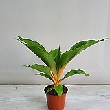 클로로피텀 그린오렌지/공기정화식물/반려식물/온누리 꽃농원|