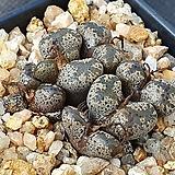 코노피튬 테리칼라 595 Conophytum