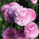라넌큘러스 로사치아로 구근2개 화사한꽃을 피우는 품종이죠. 8번|