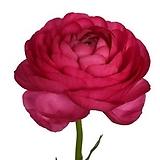 라넌큘러스 핫핑크 구근2개 화사한꽃을 피우는 품종이죠. 11번|