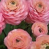 라넌큘러스 그랜드파스텔 구근1개 화사한꽃을 피우는 품종이죠.|