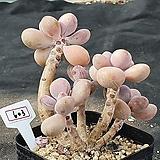 아메치스 603 Graptopetalum amethystinum
