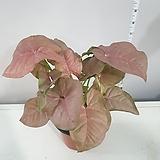 공기정화식물 핑크 신고니움|