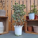 스윗하트 고무나무|