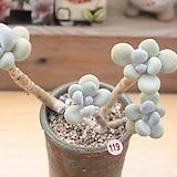 홍미인 묵은한몸 Pachyphytum ovefeum cv. momobijin