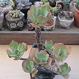 홍학 묵은한몸  Echeveria Beninoturu(JAPAN hyb)