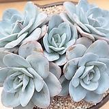 브링클스블루군생 묵은한몸 Echeveria Brinks Blue
