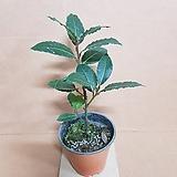 [G]월계수나무(S2) 2020 새상품/공기정화식물|