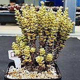 희성금 604 Crassula Rupestris variegata