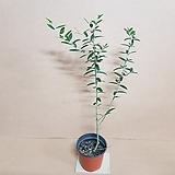 [G]올리브나무(S2) 외목대 2020 새상품/올리브 (요리할때 식재료로 사용해요)/공기정화식물|