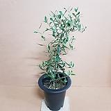 [G]올리브나무(M3) 목대 2020 새상품/올리브 (요리할때 식재료로 사용해요)/공기정화식물|