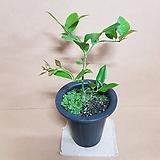 [new]레몬나무(M) 2020 새상품/구연산과 비타민c/묘목/모종/열매나무/공기정화식물|