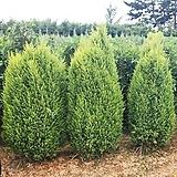 정원 조경 울타리 측백 아이리쉬주니퍼 히버니카 hibernica 나무 묘목 포트|