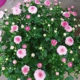 가을국화 소국 [핑크]|