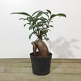 인삼벤자민 인삼펜다 공기정화식물|
