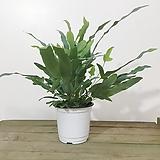 블루스타고사리 공기정화식물|