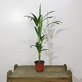 아레카야자 55-70cm 공기정화식물|