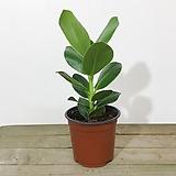 크루시아 공기정화식물 로세아 크루시아|Echeveria Lucy