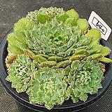 왕비금사황 640 Echeveria setosa Hybrid