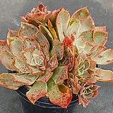 독일롱기시마 642 Echeveria longissima