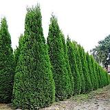 정원 조경 울타리 측백 에메랄드그린 파스티기아타 Fastigiata 나무 묘목 포트|