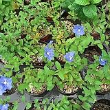 폼폰국화(흰꽃)