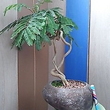 #(명명품)자귀나무-자연석|