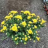 국화/중/노랑|