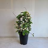 넝쿨호야/공기정화식물/반려식물/온누리 꽃농원|