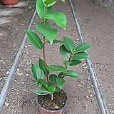 향동백나무|