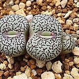 Conophytum wittebergense 위트버젠스  대형종|Conophytum Wittebergense