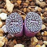 Conophytum wittebergense  당초문|