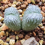 Conophytum ectipum cv.mabels fire 마벨스파이어  적화|