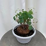 스테파니아 에렉타 동일식물|