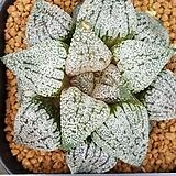 은사 픽타 중묘 Haworthia picta