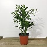 테이블야자 소품 공기정화식물 공기청정식물 |