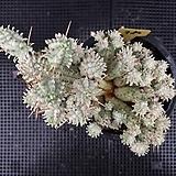 구갑기린 980|Euphorbia submamillaris