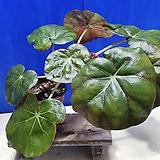 연잎베고니아 ㅡ2|