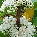 층꽃(흰색)|