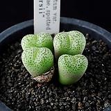 4619-C.truncatum var. wiggettiae, spotted Peersii  피어시  4두|