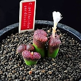 4627-C.pellucidum padiocolor 파디오칼라4두|