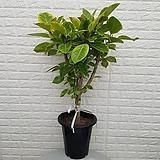 ♥뱅갈고무나무48 ♥공기정화식물 