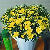 노랑국화꽃 월동|